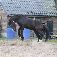 Welsh Cob dekhengst Ceres Commando 2014_157